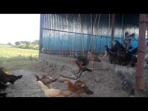 நாட்டு கோழி பண்ணை - Natu koli pannai - Ruchi Farms, Perambalur, Tamilnadu