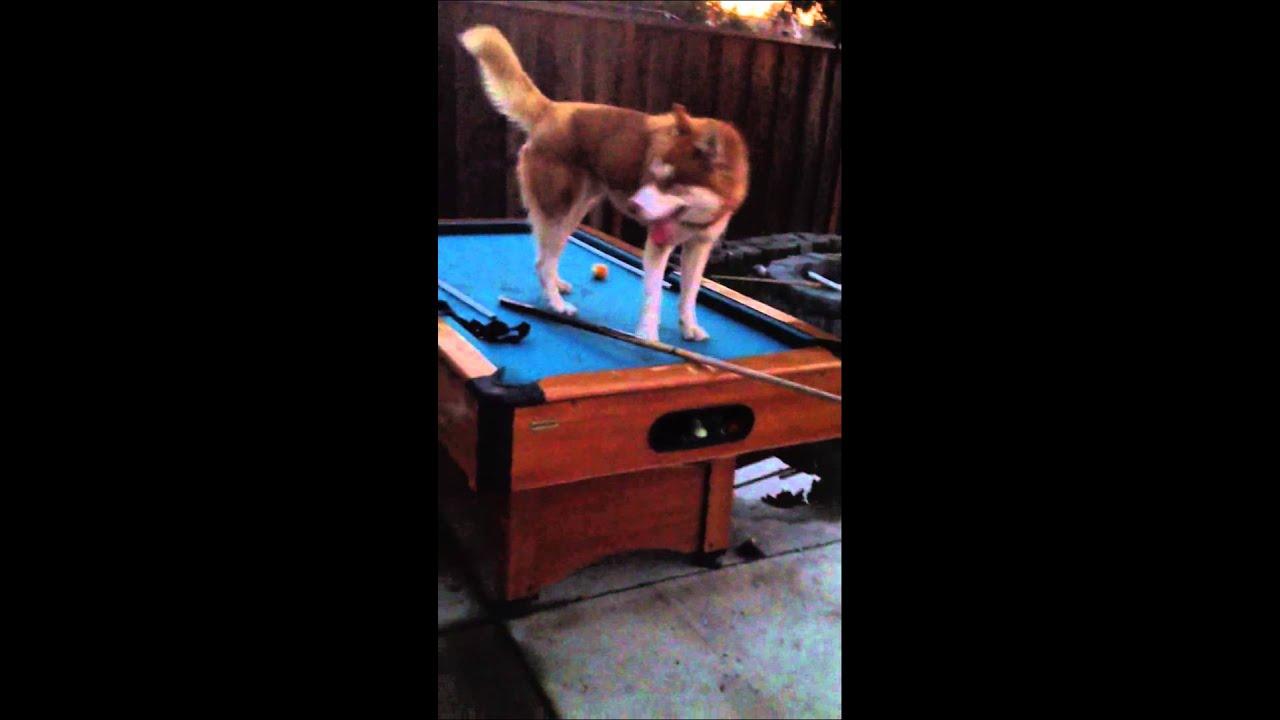 Maverick The Husky Jumping On The Pool Table YouTube - Maverick pool table