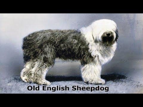 Old English Sheepdog (dog) Canis lupus familiaris