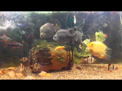 Jeetuji,s Fish Mono Angle With Scat