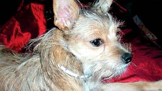 Порода собак. Московский дракон.Очень редкая порода собак.Таких стоит еще поискать