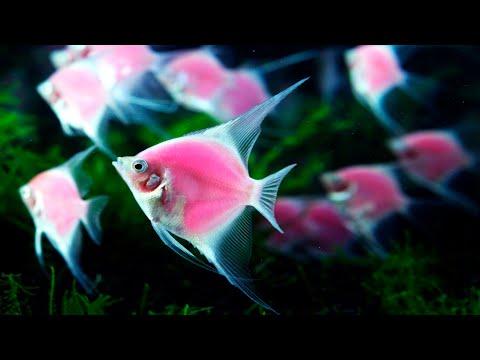 Types Of Angel Fish  2020