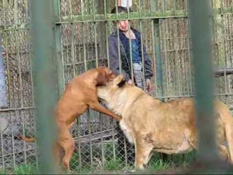 Two Lions And A Dog