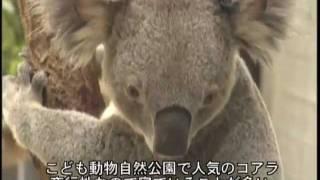 埼玉県こども動物自然公園で人気者のコアラ。夜行性で寝ていることが多...