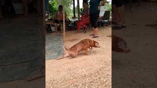 Pooch Fakes Injury for Attention    ViralHog