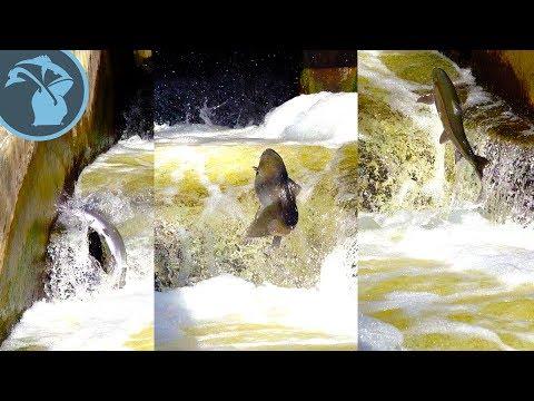 Fish Jump Slow Motion - Fish Ladder Park Grand Rapids Michigan Spring Season