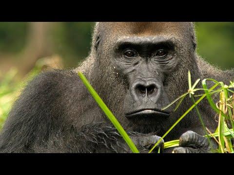 Mama Tembo Tours- Western Lowland Gorilla Safari