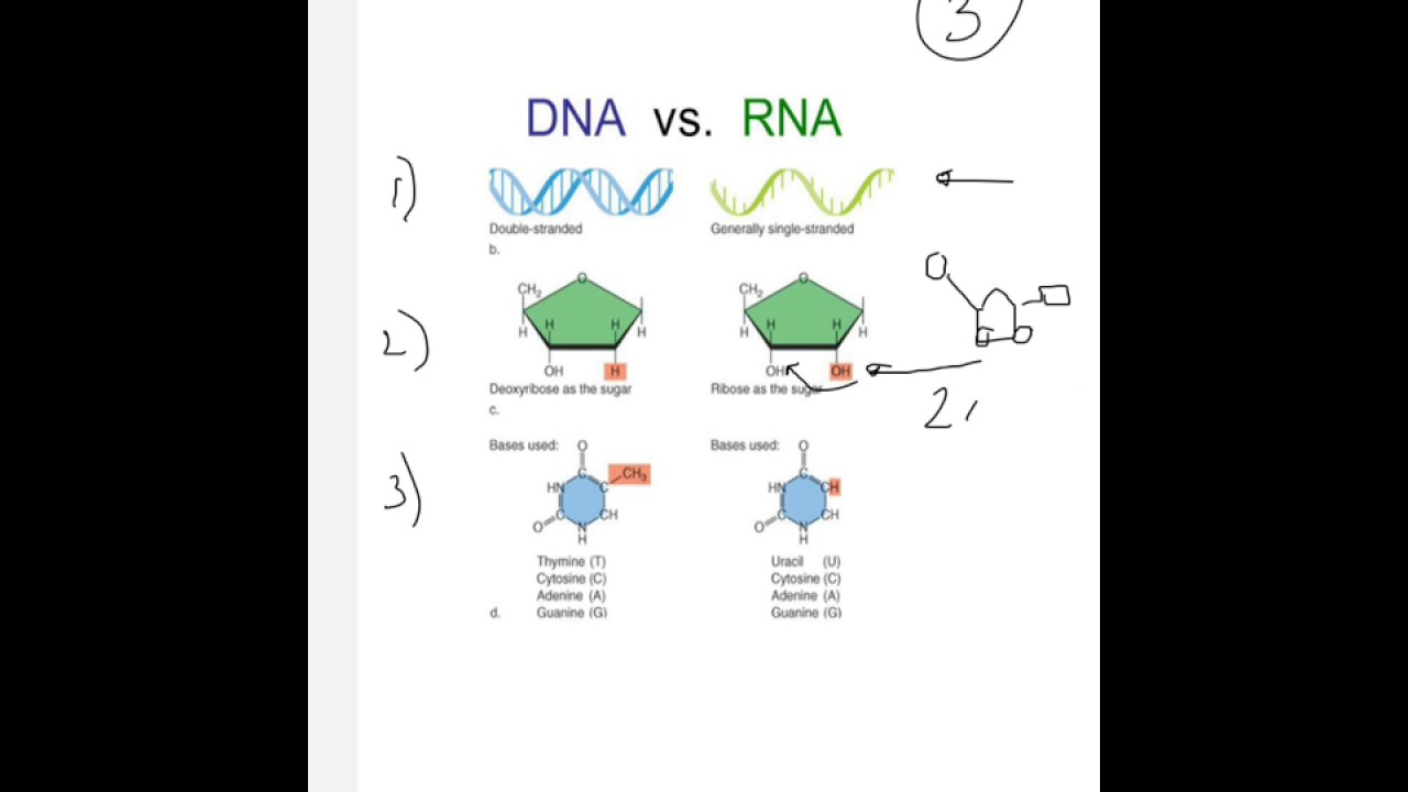 The Three Differences Between Dna And Rna