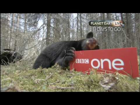 Planet Earth Live - Bear Countdown: 11 days to go - BBC One
