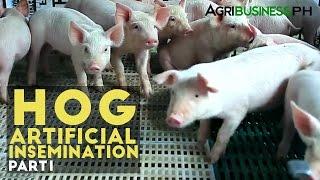 Hog Artificial Insemination Part 1 : Hog Artificial Insemination | Agribusiness Philippines