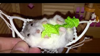Ham in ham: These Happy Hamsters love lounging in their hammocks!