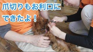 コマちゃんは今回が初めての爪切り体験! 何事も初めが重要。終始嫌がら...