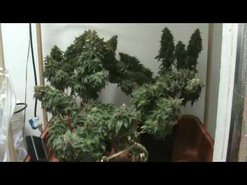 Medical Cannabis   Querkle   Harvest Fan Leaves Removed   YouTube. Aerogarden Weed Harvest. Home Design Ideas