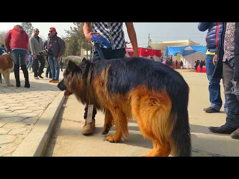 German Shepherd-1st National Dog Show + 8th Grand Dog Show Winner Nepal(Poland imported)