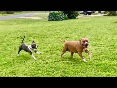 Pitbull Meets Pitbull Puppy | Playing In The Rain
