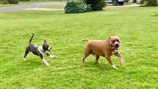 Pitbull Meets Pitbull Puppy | Playing In The Rain thumbnail