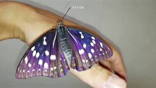 育てたというより放置していたオオムラサキの幼虫が蛹になって蝶になり...