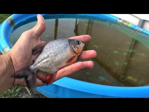 One HUNDRED BABY PACU FOR MY AQUARIUM (THE PACU ARMY)