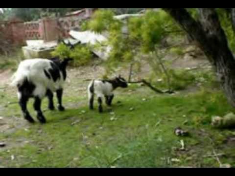 Vecchia fattoria cucciolo di capretta youtube for Nuovi piani di vecchia fattoria