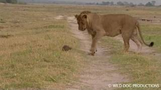 Young lion playing with mongoose