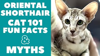 Oriental Shorthair Cats 101 : Fun Facts & Myths