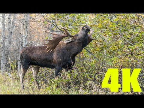 THE ULTIMATE ALASKA BULL MOOSE COMPILATION | 4K