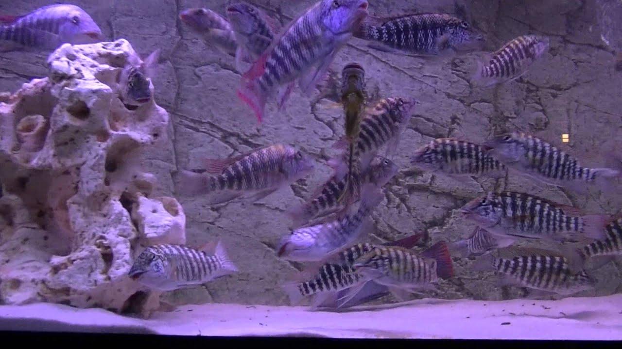 Картинки по запросу Petrochromis spec. 'red fin Longola'