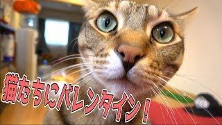 バレンタインデーなので猫たちにチョコをあげたいと思います!! バレンタインデー 検索動画 28