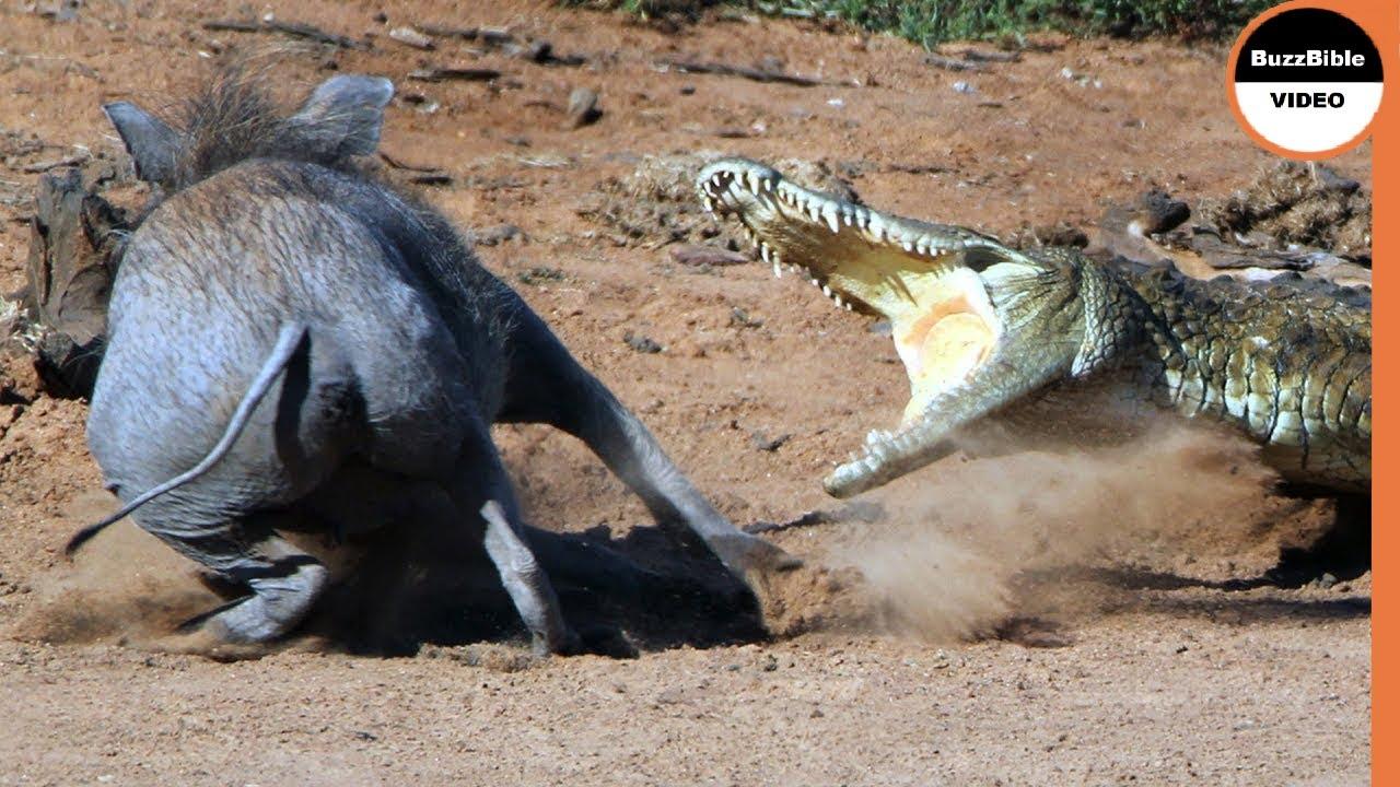 Crocodile Attacks The Warthog Twice