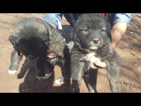 Bakarwal Dog Puppies Playing | Gaddi Dog Puppies | Tibetan Mastiff | Tibetan Mastiff Puppies