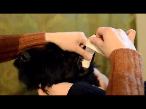 Giant Schnauzer ear taping