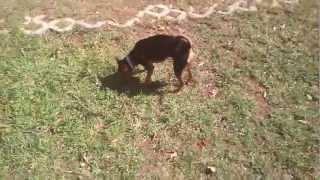 Mini Pinscher Playing At Park