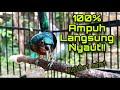 Ampuh Pancingan Kolibri Wulung Agar Langsung Bunyi Nembak Sambung Besetan Pedas Kowul Nembak  Mp3 - Mp4 Download