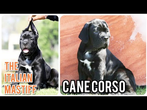 top-notch-quality-cane-corso-puppies-the-mastiffs-of-italy-black-coat-italian-mastiffs-muzaffarnagar