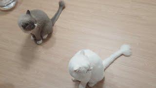 [까까캔디]  앉아! 말하면 앉는 고양이 |#말알아듣는고양이 |#똑똑한고양이