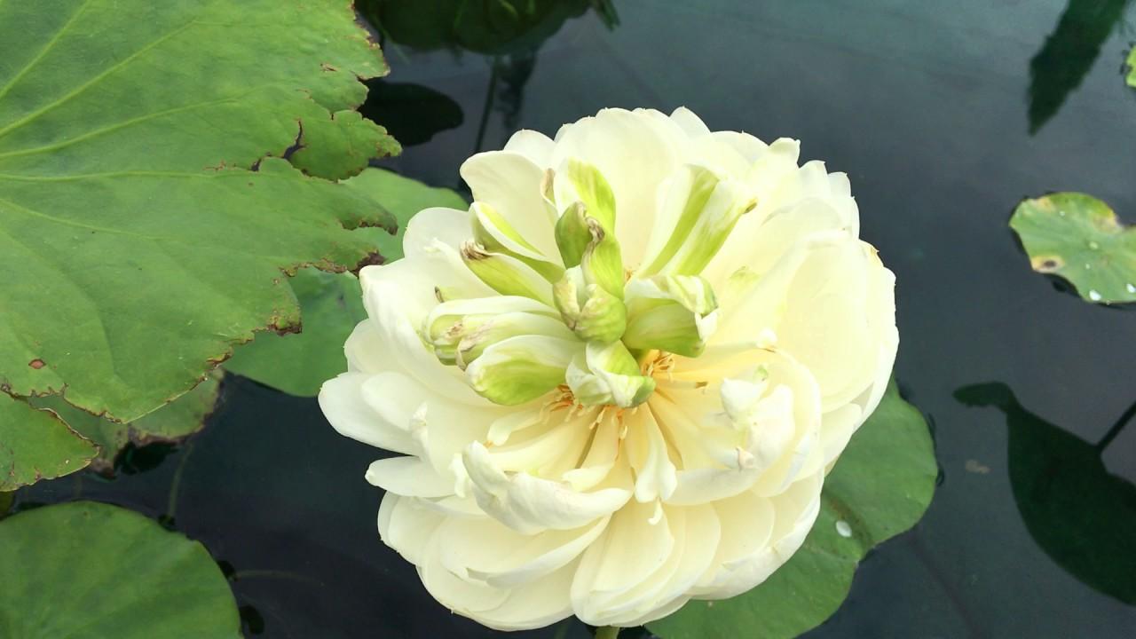 June Snow Lotus Youtube