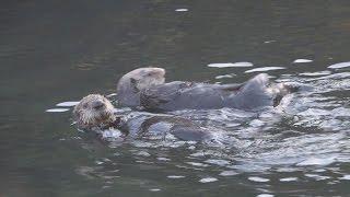 根室半島沖にラッコの親子 子どもは甘えん坊 thumbnail