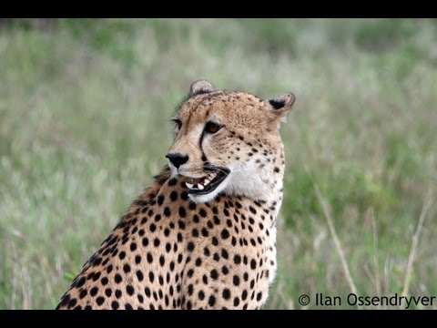 Cheetah Calling   27 May 2013   Latest Sightings