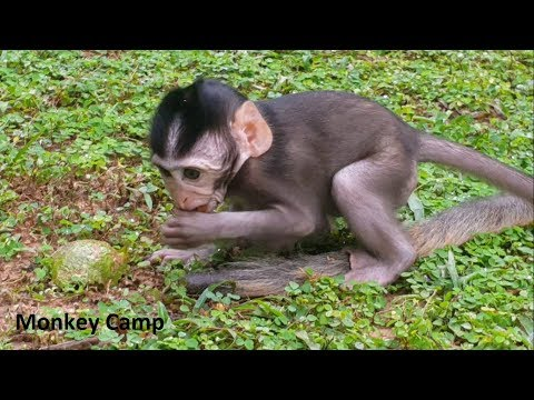 Adorable baby monkey - Tazarnna walk and try to eat some food - Monkey Camp part 2129