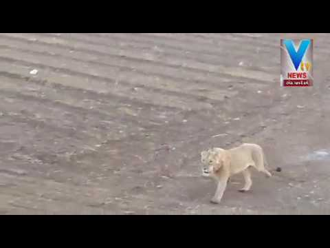 Amreli : Video Viral of Three lions in Farms | Vtv Gujarati