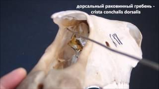 носовая кость домашних животных