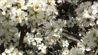 Video blackthorn blossom in the hedgerow download MP3, 3GP, MP4, WEBM, AVI, FLV Desember 2017
