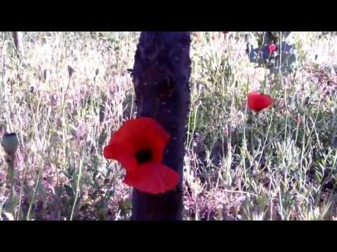 Gelincik Çiçeği Hakkında 10 Şey