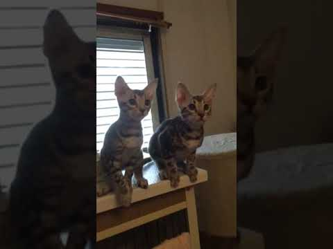 OCICAT cute siblings and favorite toy