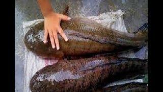 Ketahuilah Sebelum Menyesal Telah Mengabaikannya,, Inilah 10 Manfaat Ikan Gabus Untuk Kesehatan