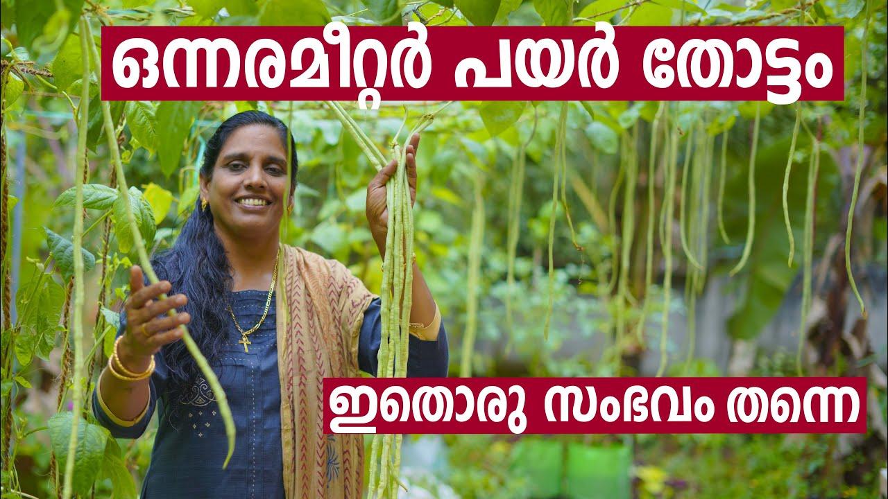 ഒന്നരമീറ്റർ പയർ തോട്ടം   Payar Krishi in Malayalam   How to grow long beans