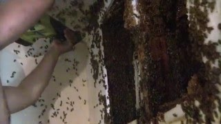 Bee Hive removal- Exposed Hive indoors by Luis Slayton of Bee Strong Honey and Bee Removal part 9