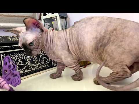 Milisson ASYA bambino TOY cat ❤️ www.Sphynx.TV