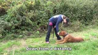 Ernie - Dogue De Bordeaux - 4 Week Residential Dog Training At Adolescent Dogs Uk