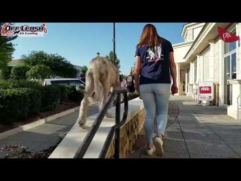"""5 Month Old Irish Wolfhound """"Aoifa"""" Before/After Video 